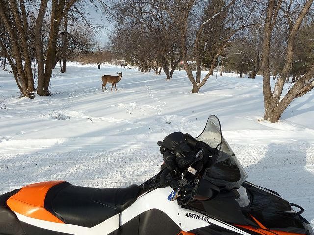 The deer don't seem to afraid of us on our sleds.