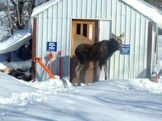 Overnight visitor at one of our club's shelters.  Groomer operator came across this amazing and unique site.  This sick unfortunate moose even felt safe at our shelter and had made it's self a place to sleep for the night.  Who says you can't see amazing stuff right here in our Canadian playground?!?!?!