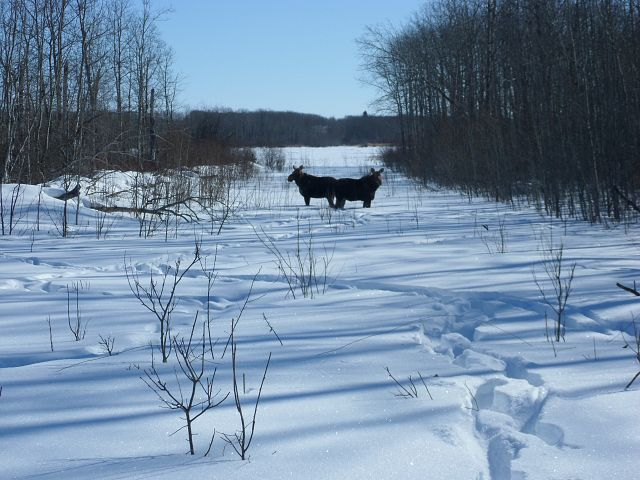 Moose near the trail.
