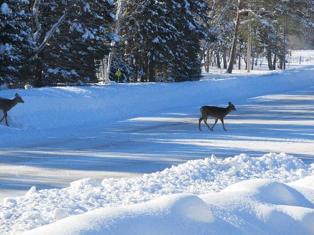 Deer in Falcon Lake