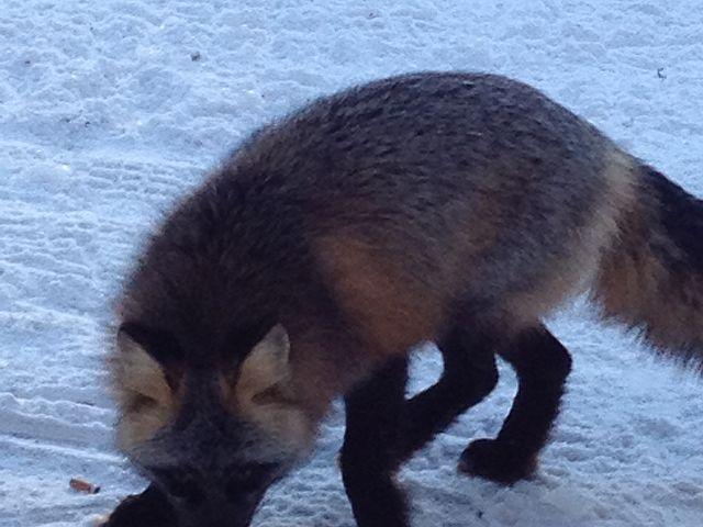 Fox at Fir River Shelter