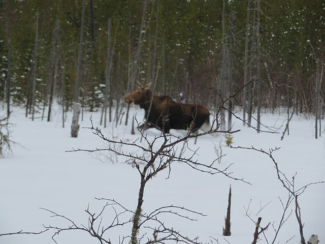 Moose on Trail 208a