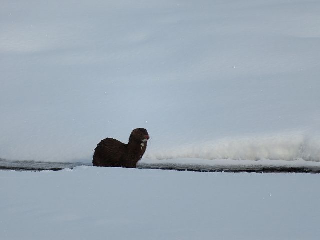 Trail 208J Otter at Caribou Creek