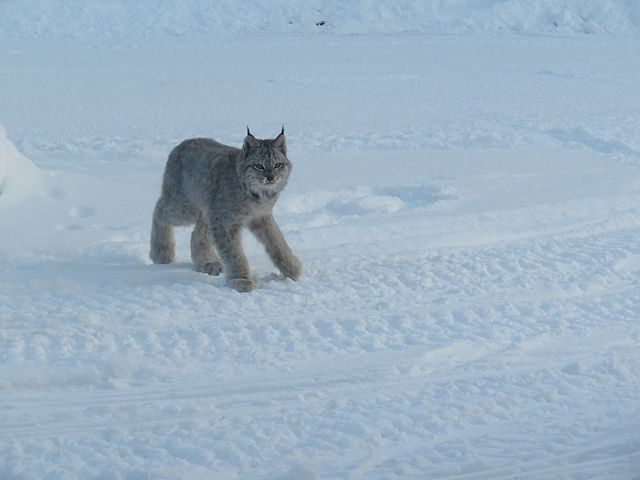 208a Lynx on the Trail