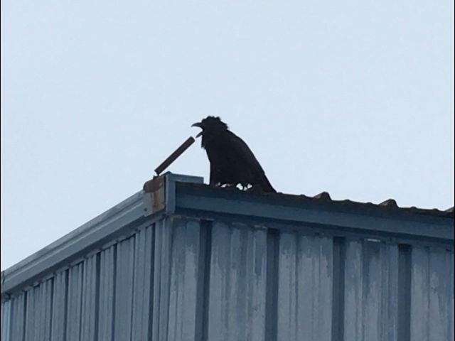 Crazy raven screaming into what could be mistaken for a microphone during a fuel stop in st Martin mb