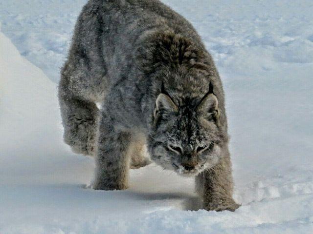 Lynx on Trail 208 A
